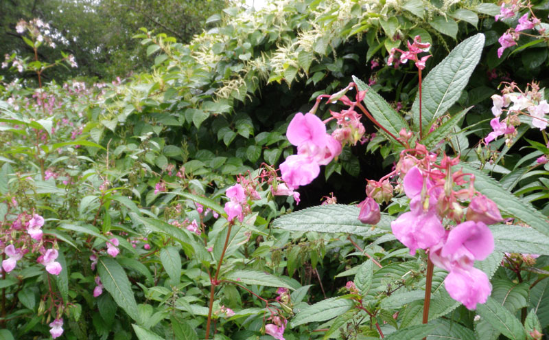 Himalayan balsam and Japanese knotweed