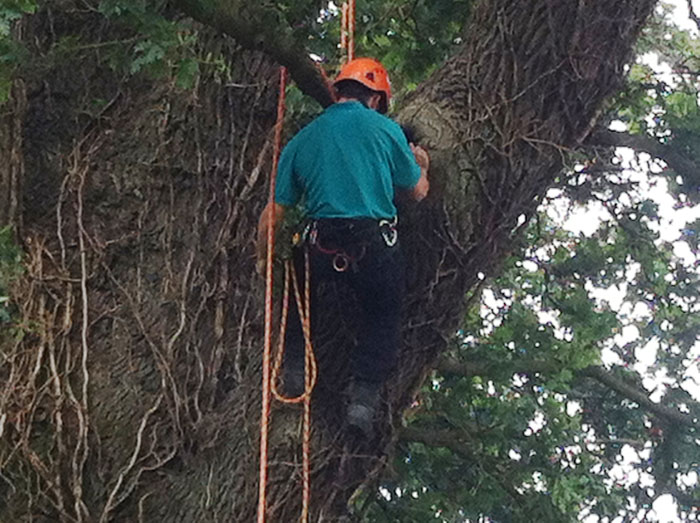 Tree climbing bat surveys