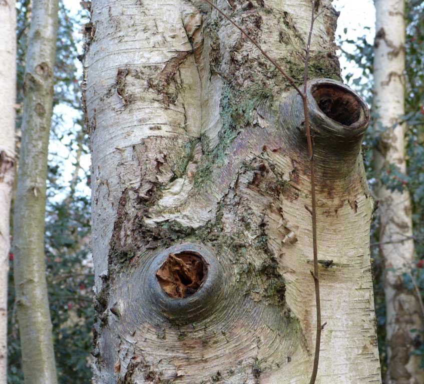 Bat Roosts In Trees (book)