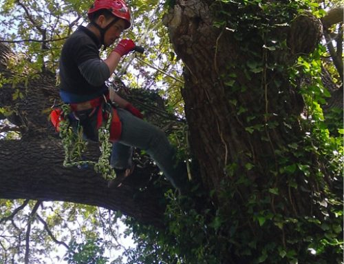 Use of tree climbing to identify bat roosts in trees